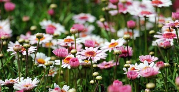 Flowering Plants to Grow in Southern California Daisy